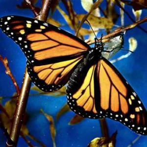 20080124173948-mariposa-monarca